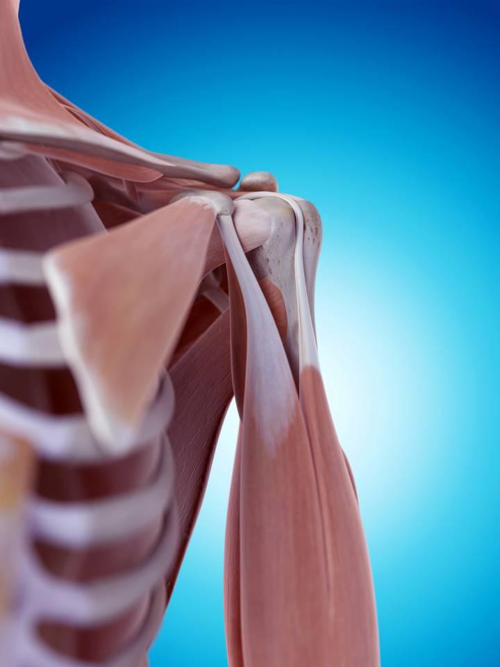 spieren en pezen bovenarm